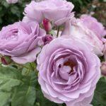 ⭐️薔薇🌹の町・福山⭐️
